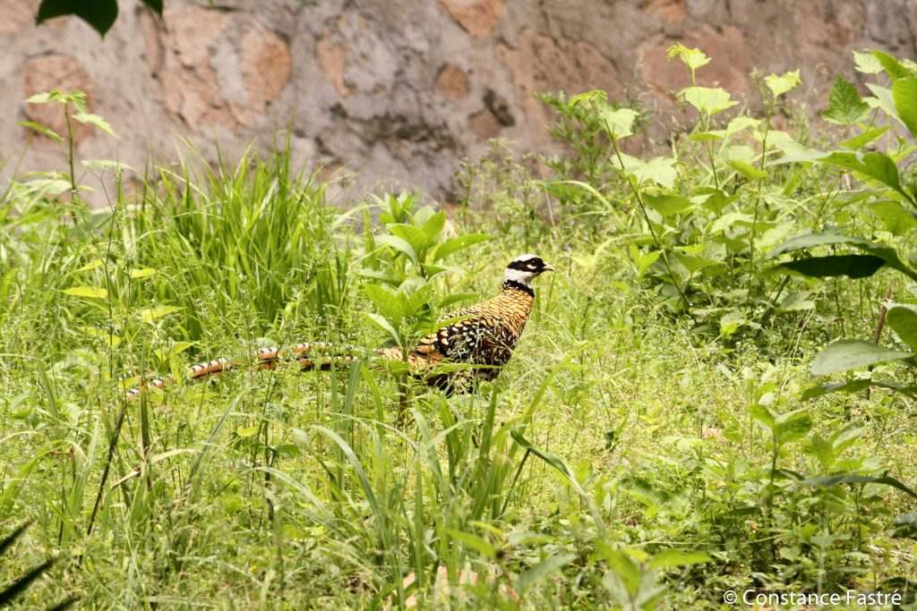 Male Reeves's Pheasant