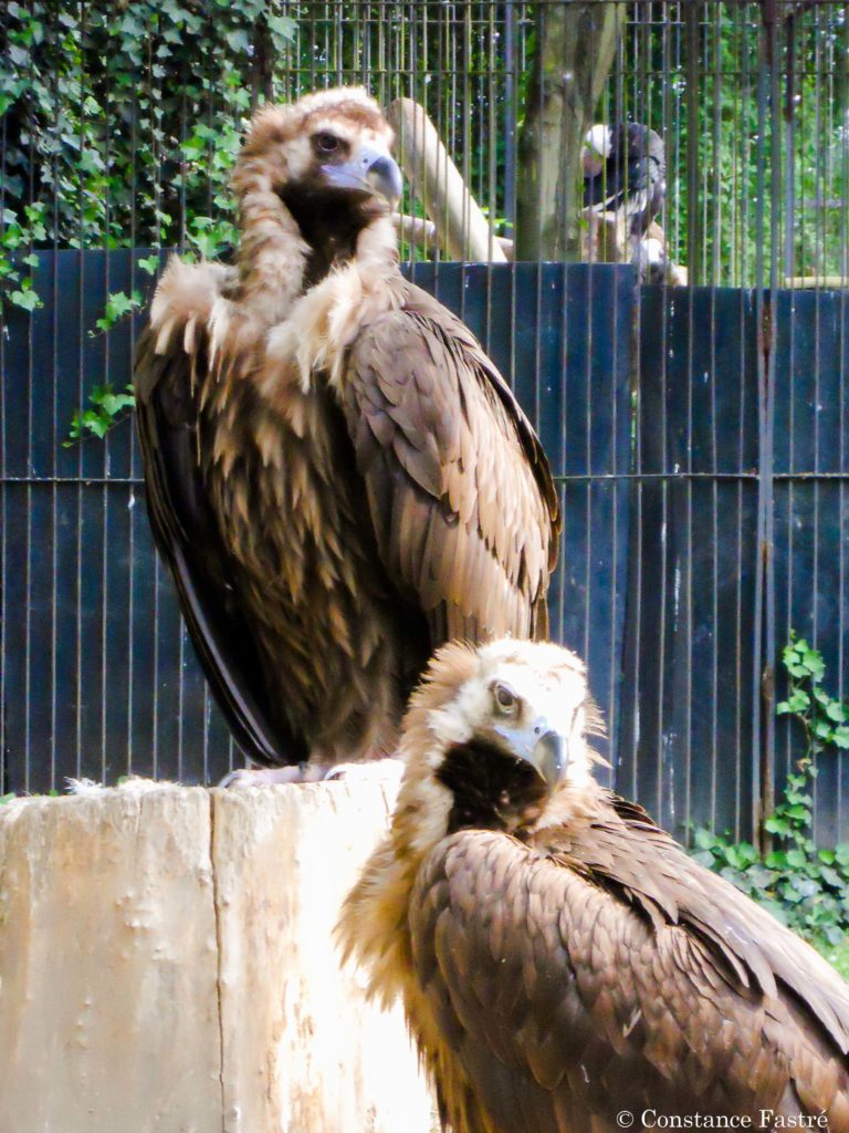 Captive pair of Cinereous vultures at the Zoo of Antwerp (2010)
